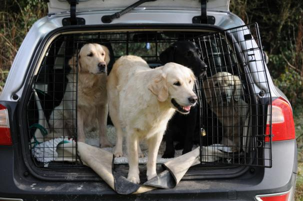 dogs in the back cargo of car